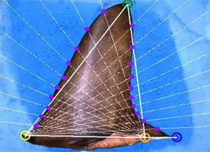 Aleta de tiburón analizada con el software iSharkFin (Foto: CITES)