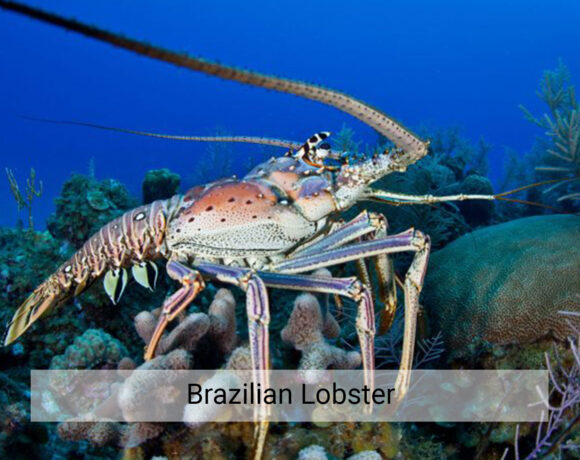 Brazilian Lobster