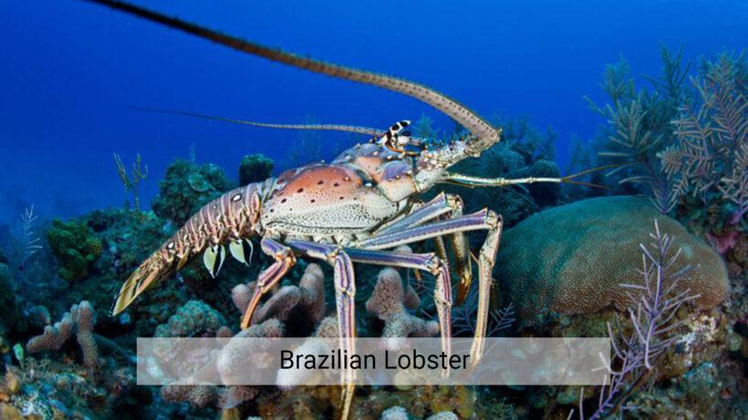 Brazilian Lobster