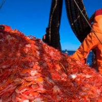 Inician procedimientos para la certificación de langostino sustentable en Chubut