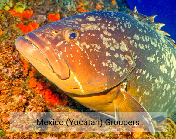 Mexico (Yucatan) Groupers